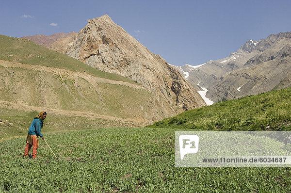 Local woman tending her fields  Mud  Pin Valley  Spiti  Himachal Pradesh  India  Asia