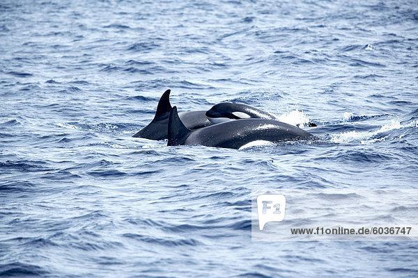 Family of killer whales (Orcinus orca) at surface off Tarifa coast  Strait of Gibraltar  Costa de la Luz  Andalucia (Andalusia)  Spain  Europe
