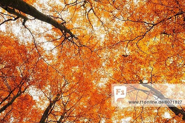 Anblick der Baum Vordächer in Herbstlaub aufwärts