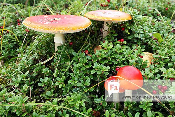 Wulstlinge Pilze und Preiselbeeren