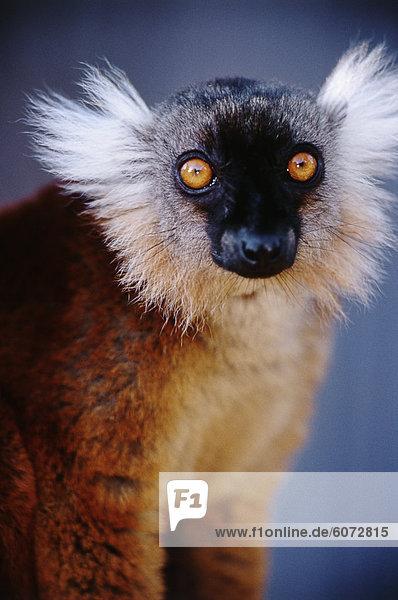 Porträt des schwarzen Lemur (Eulemur Macaco) Porträt des schwarzen Lemur (Eulemur Macaco)