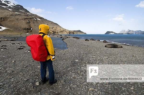 Rucksack  stehend  Felsen  Strand  Mensch  Seelöwe  Südgeorgien