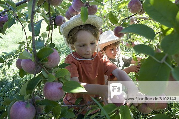 Bruder  Apfel