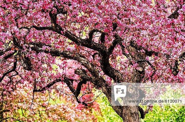 Baum  Landschaft  blühen  Apfel  Minnesota  Universität