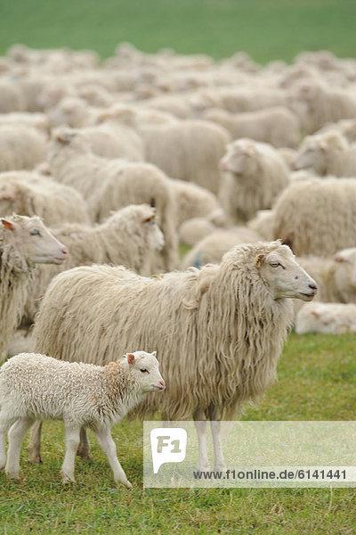 Schafe weiden auf grasbewachsenem Feld Schafe weiden auf grasbewachsenem Feld