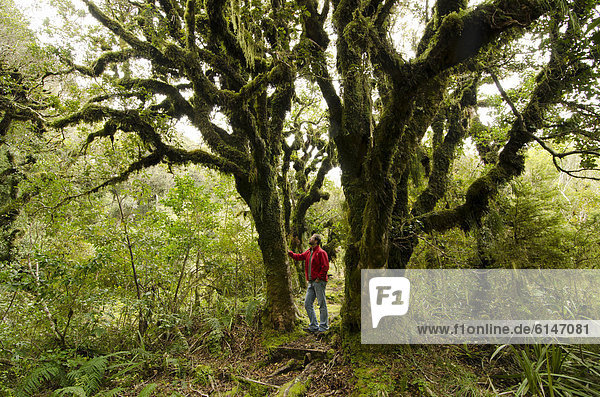 Wanderer im Regenwald vor knorrigem  moosbewachsenem Baum  Mt. Taranaki Nationalpark  Nordinsel  Neuseeland