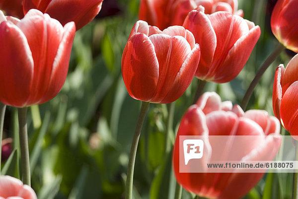 hoch  oben  nahe  rot  Tulpe