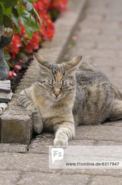 Getigerte Katze liegt neben Blumenbeet  die Augen geschlossen