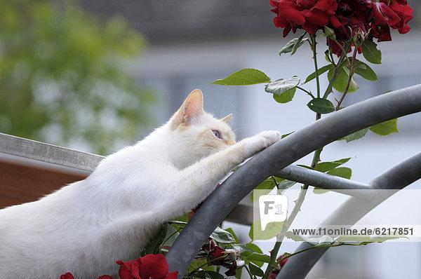 Thai-Katze klettert auf Rosenbogen
