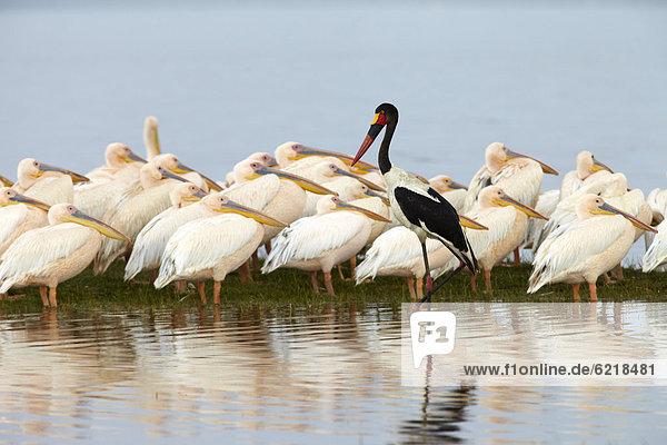 Sattelstorch (Ephippiorhynchus senegalensis)  dahinter Pelikane (Pelecanus)  Lake Nakuru  Kenia  Afrika