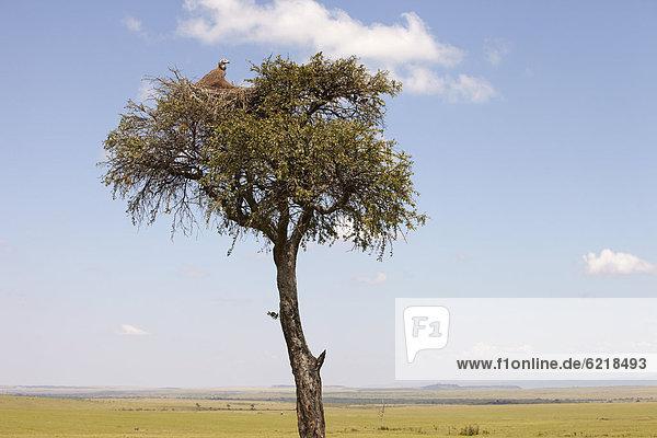 Kappengeier (Necrosyrtes monachus) im Nest auf einer Akazie (Acacia sp.)  Masai Mara  Kenia  Afrika