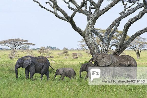 Elefanten (Loxodonta africana)  Seronera  Serengeti  Tansania  Afrika