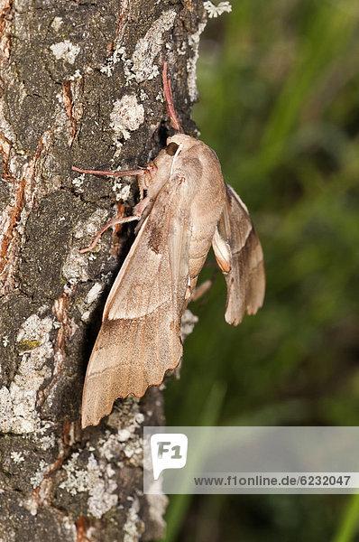Eichenschwärmer (Marumba quercus)  Weibchen an einem Eichenstamm  Kerkiniseegebiet  Griechenland  Europa
