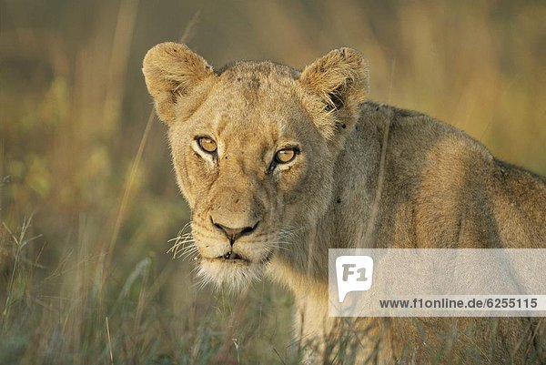 Lioness  Panthera leo  Kruger National Park  South Africa  Africa