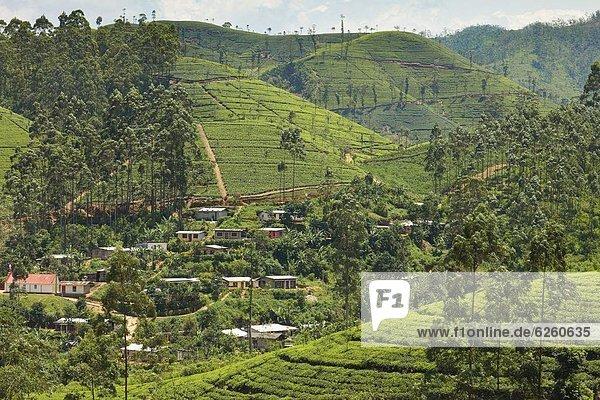 zwischen  inmitten  mitten  Hügel  Dorf  Plantage  Asien  Sri Lanka  Tee