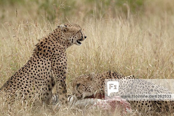 Südliches Afrika  Südafrika  Gepard  Acinonyx jubatus  töten  2  Kruger Nationalpark  Afrika  Zebra
