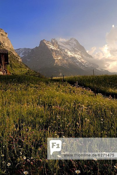 Europa Berg Blume Wiese Bern Grindelwald Schweiz