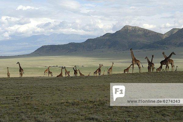 Ngorongoro Conservation Area  UNESCO World Heritage Site  Tansania  Ostafrika  Afrika