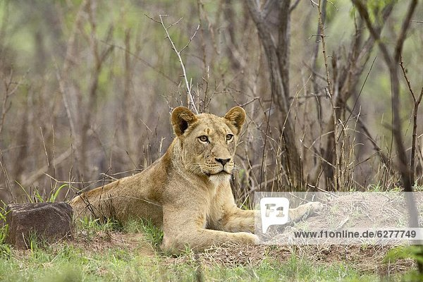 Female lion (Panthera leo)  Kruger National Park  South Africa  Africa