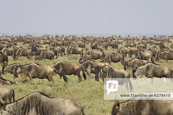 Ostafrika  Herde  Herdentier  blau  Gnu  Serengeti Nationalpark  Afrika  Tansania