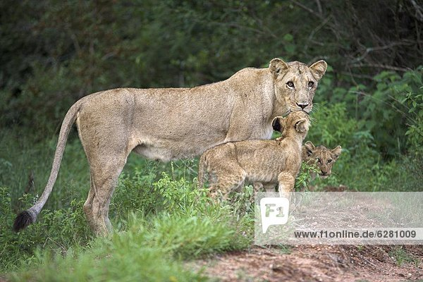 Lioness (Panthera leo)  with cubs  Kruger National Park  South Africa  Africa