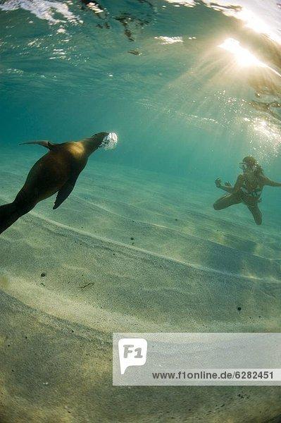 Seelöwe Kommunikation Ecuador Galapagosinseln Südamerika