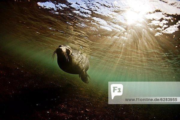 Seelöwe Bulle Stier Stiere Bullen Wasser Insel seicht Galapagosinseln Ecuador Südamerika