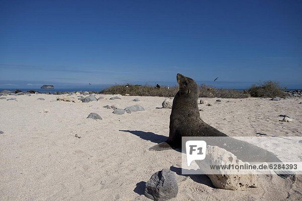 Seelöwe Meer UNESCO-Welterbe Ecuador Galapagosinseln Südamerika