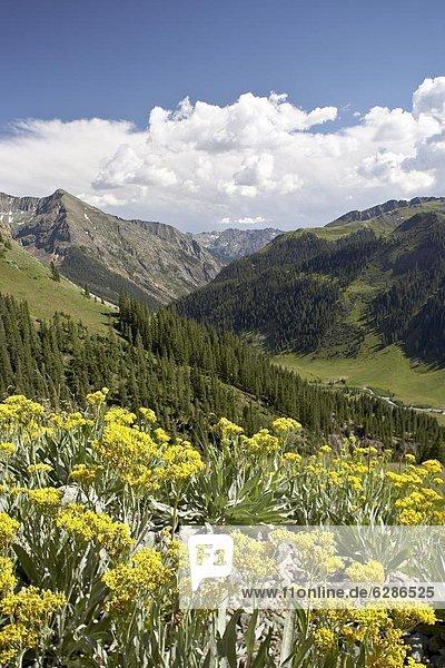 Vereinigte Staaten von Amerika  USA  nahe  Berg  Wildblume  Nordamerika  Zimt  Colorado