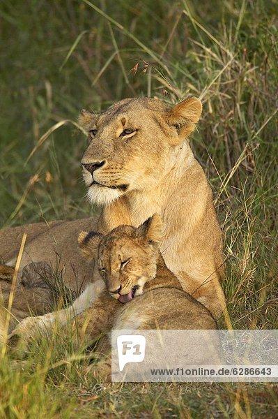 Lioness (Panthera leo) with cub  Masai Mara National Reserve  Kenya  East Africa  Africa