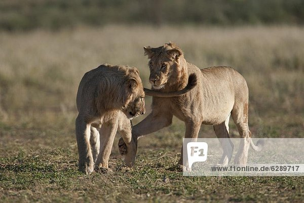Subadult lions (Panthera leo)  young males playfighting  Kgalagadi Transfrontier Park  Northern Cape  South Africa  Africa