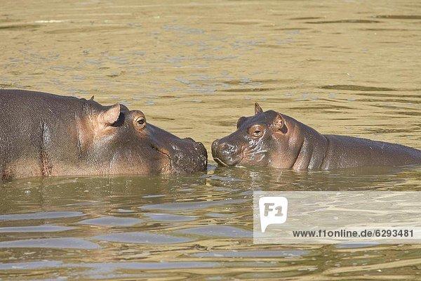 Ostafrika , Flusspferd,  Hippopotamus amphibius , Masai Mara National Reserve , Mutter - Mensch , Afrika , Baby , Kenia