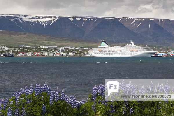 Nootka lupins (Lupinus nootkatensis)  cruise ship  port of Akureyri  Nor_urland eystra region  or north-east region  Iceland  Europe