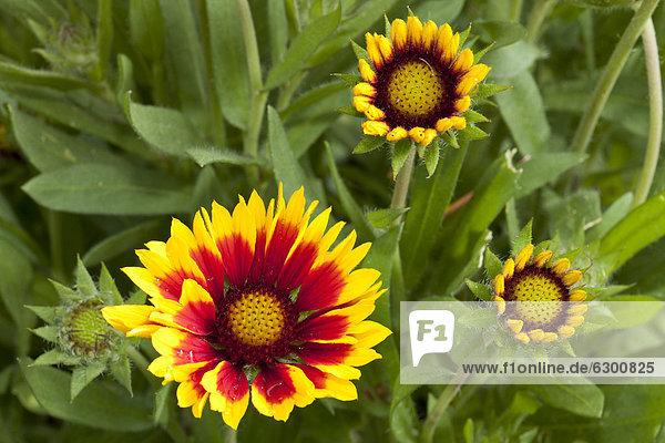 Botanischer Garten Botanische Europa Blume Decke Bochum Kokardenblume Deutschland Nordrhein-Westfalen