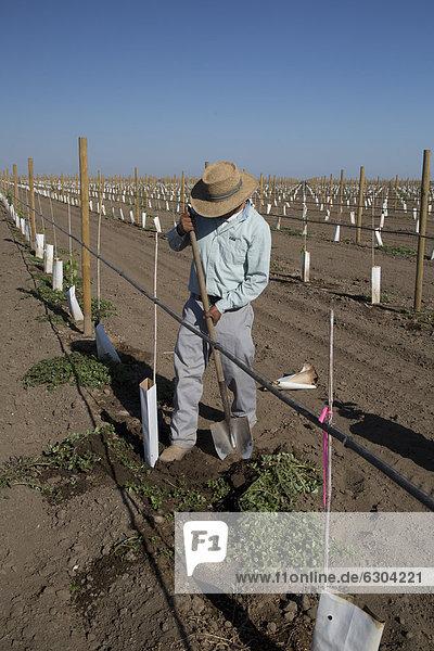 A Latino farmworker tends newly-planted grape vines in the San Joaquin Valley  Di Giorgio  California  USA