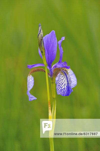 Blaue Schwertlilie (Iris sibirica)  Bodensee  Rheindelta  Österreich  Europa Blaue Schwertlilie (Iris sibirica), Bodensee, Rheindelta, Österreich, Europa