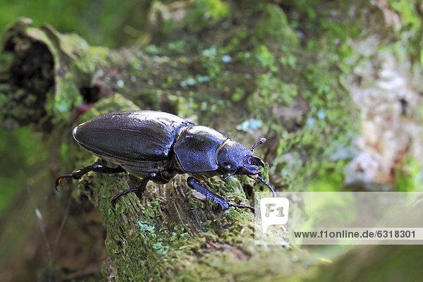Weiblicher Hirschkäfer  Hornschröter  Feuerschröter oder Donnergugi (Lucanus cervus)