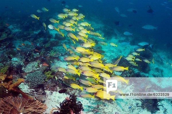 Blueline snappers Lutjanus kasmira school over coral reef Indonesia Digital capture