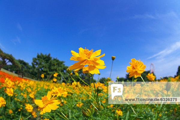 Blume  gelb  Himmel  blau