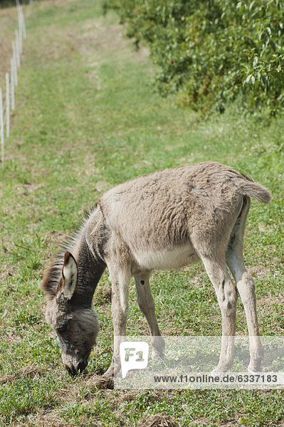 Donkey foal grazing in pasture