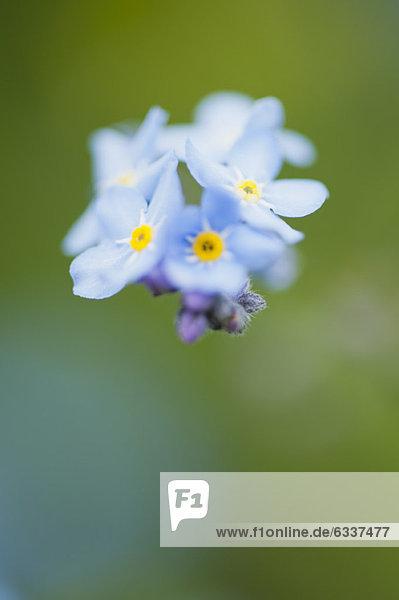 Forget-me-not flowers Forget-me-not flowers