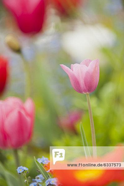 blühen  Tulpe blühen ,Tulpe