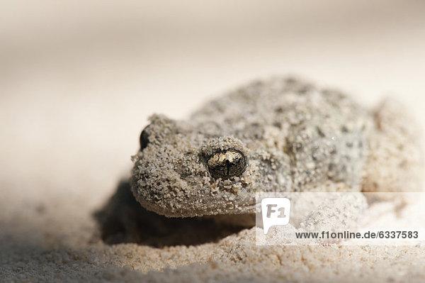 Geburtshelferkröte (Alytes Obstetricans) mit Sand bedeckt Geburtshelferkröte (Alytes Obstetricans) mit Sand bedeckt