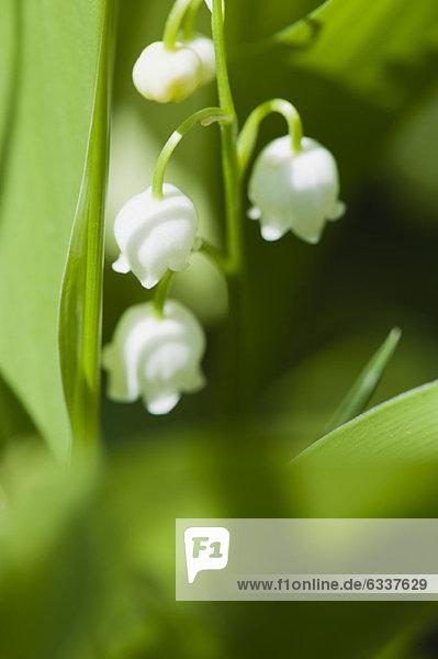 Maiglöckchen Blumen Maiglöckchen Blumen