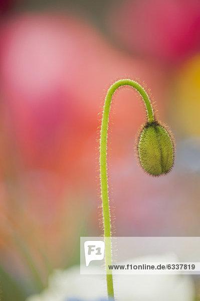 Blume  Knospe  Mohn Blume ,Knospe ,Mohn