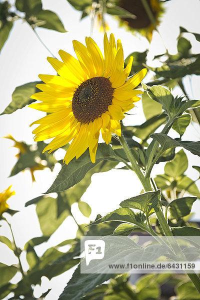 Sonnenblume (Helianthus annuus)  Stuttgart  Baden-Württemberg  Deutschland  Europa