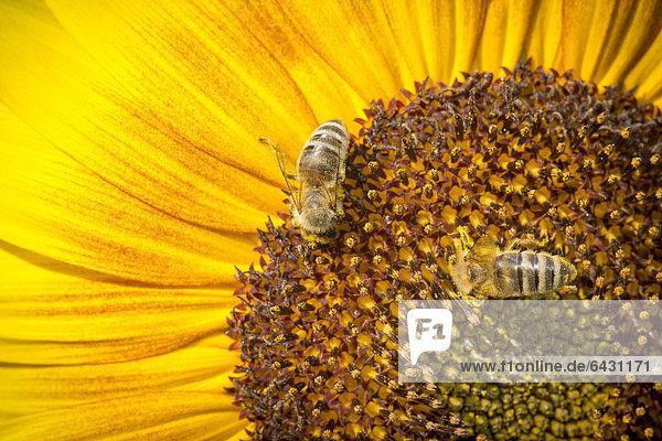 Westliche Honigbienen (Apis mellifera) auf einer Sonnenblume (Helianthus annuus)  Blütendetail  Stuttgart  Baden-Württemberg  Deutschland  Europa