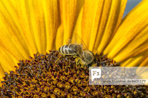 Westliche Honigbiene (Apis mellifera) auf einer Sonnenblume (Helianthus annuus)  Blütendetail  Stuttgart  Baden-Württemberg  Deutschland  Europa