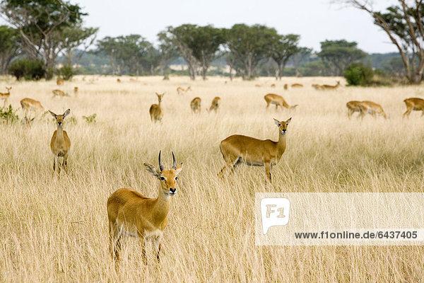 Gruppe von Uganda-Kob (Kobus kob thomasi) in der Trockensavanne bei Ishasha  Queen Elizabeth National Park  Uganda  Afrika Gruppe von Uganda-Kob (Kobus kob thomasi) in der Trockensavanne bei Ishasha, Queen Elizabeth National Park, Uganda, Afrika