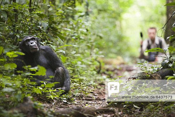 Forschung zur Tierkommunikation mit einer habituierten Schimpansen-Gruppe (Pan troglodytes) im Budongo Forest Reserve  hier das ehemalige Alpha-Männchen Duane auf einem Waldpfad  hinten der Biologe Simon Townsend von der St. Andrews University Edinburgh mit einem Mikrophon  Nyabyeya  Uganda  Afrika